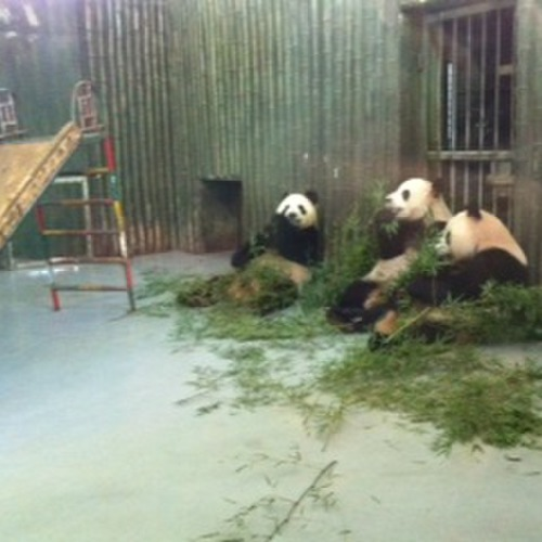 Panda bears at the Zoo