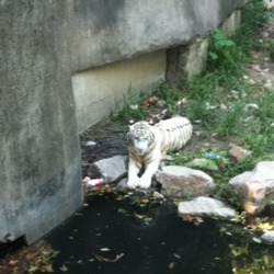White Bengal Tiger at the Zoo